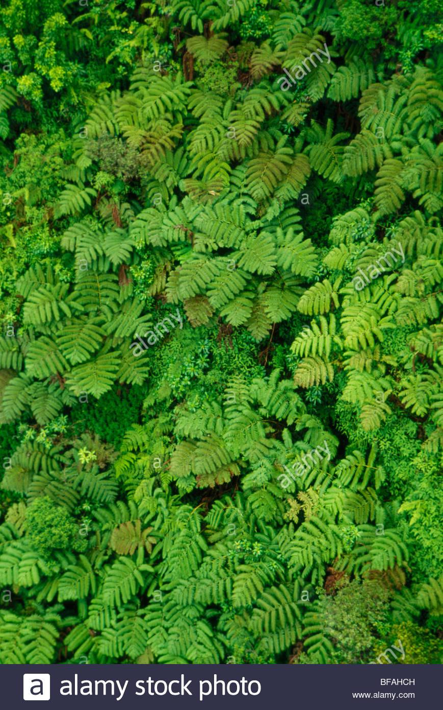 Tree ferns (aerial), Pu'u Kukui Watershed Preserve, Maui, Hawaii - Stock Image