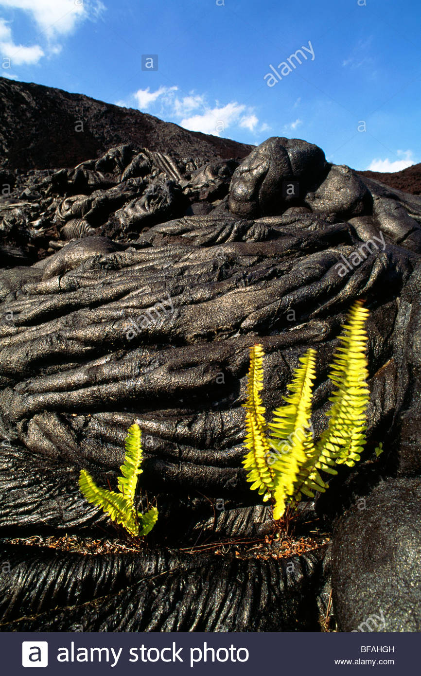 'Ama'u ferns sprouting in cooled lava cracks, Sadleria cyatheoides, Hawaii Volcanoes National Park, Hawaii - Stock Image