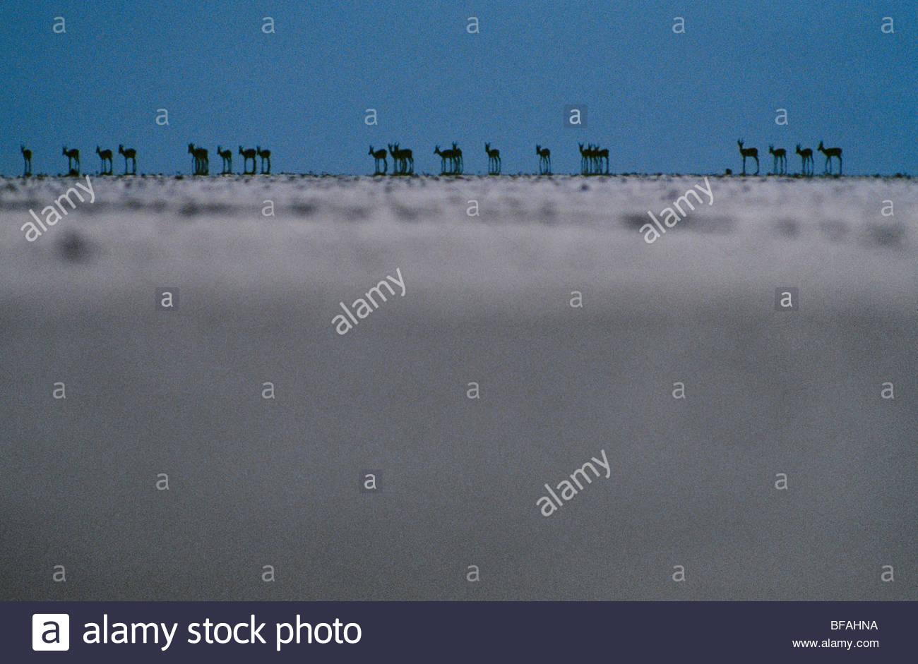 Springbok, Antidorcas marsupialis, Makgadikgadi Pans, Botswana - Stock Image