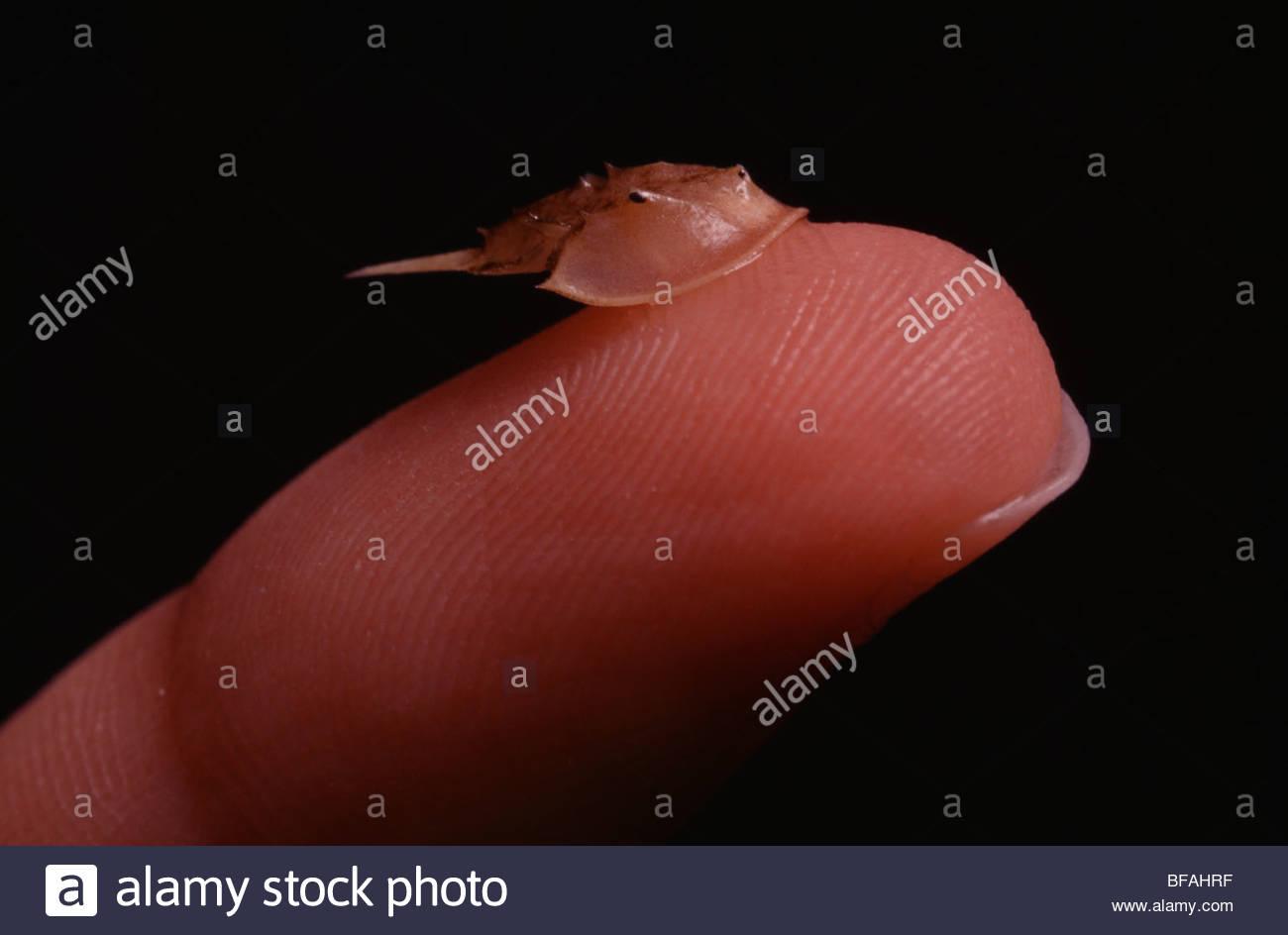 Baby horseshoe crab on finger, Limulus polyphemus, Delaware Bay, New Jersey - Stock Image