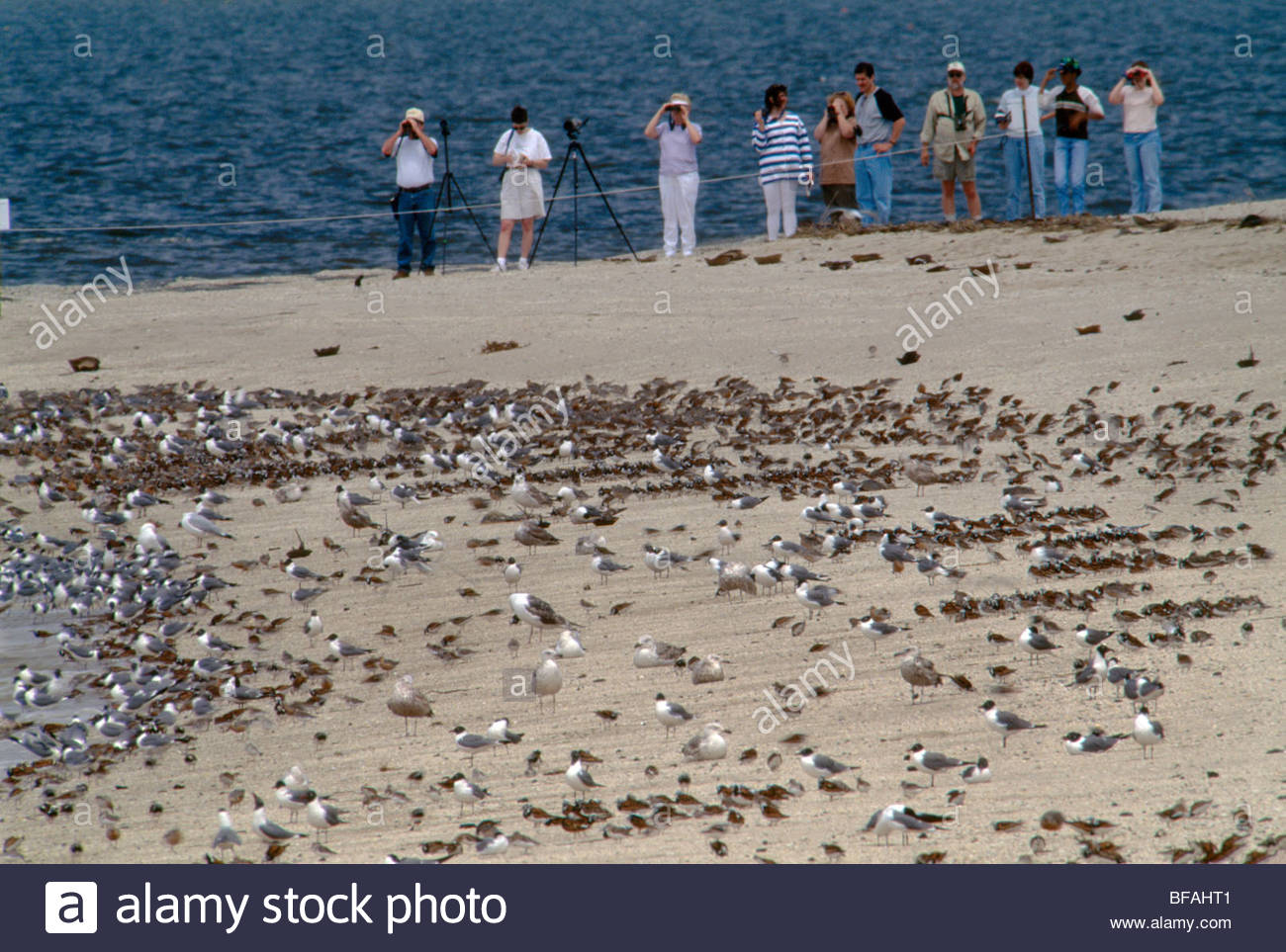 Bird watchers standing back from birds on horseshoe crab spawning beach, Delaware Bay, New Jersey - Stock Image