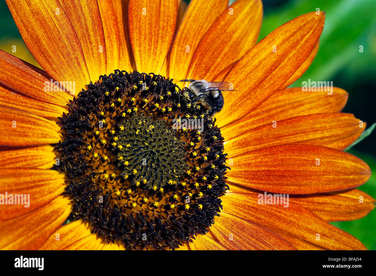 Bee and sunflower. - Stock Image