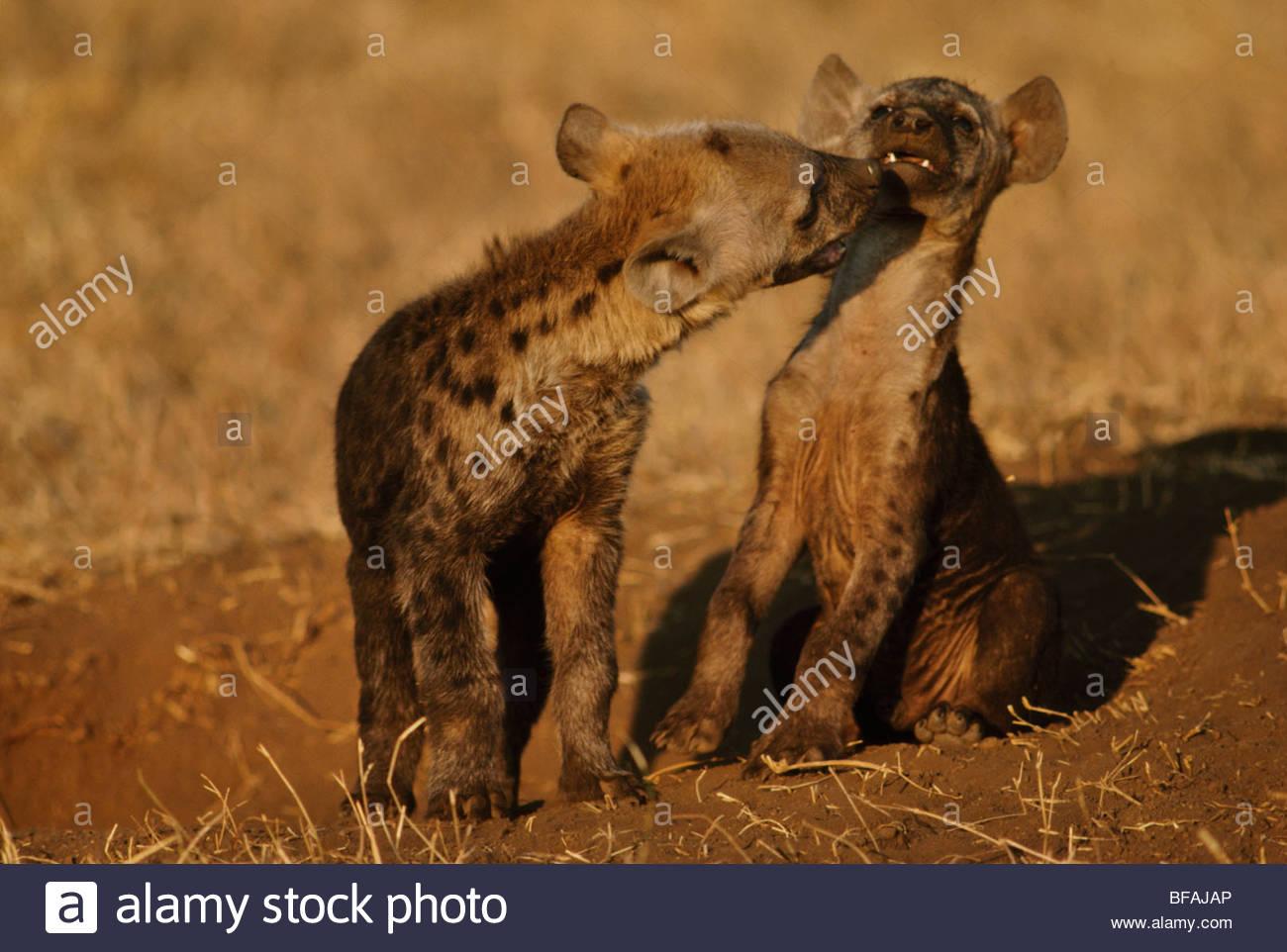 Spotted hyena pups playing, Crocuta crocuta, Masai Mara Reserve, Kenya - Stock Image