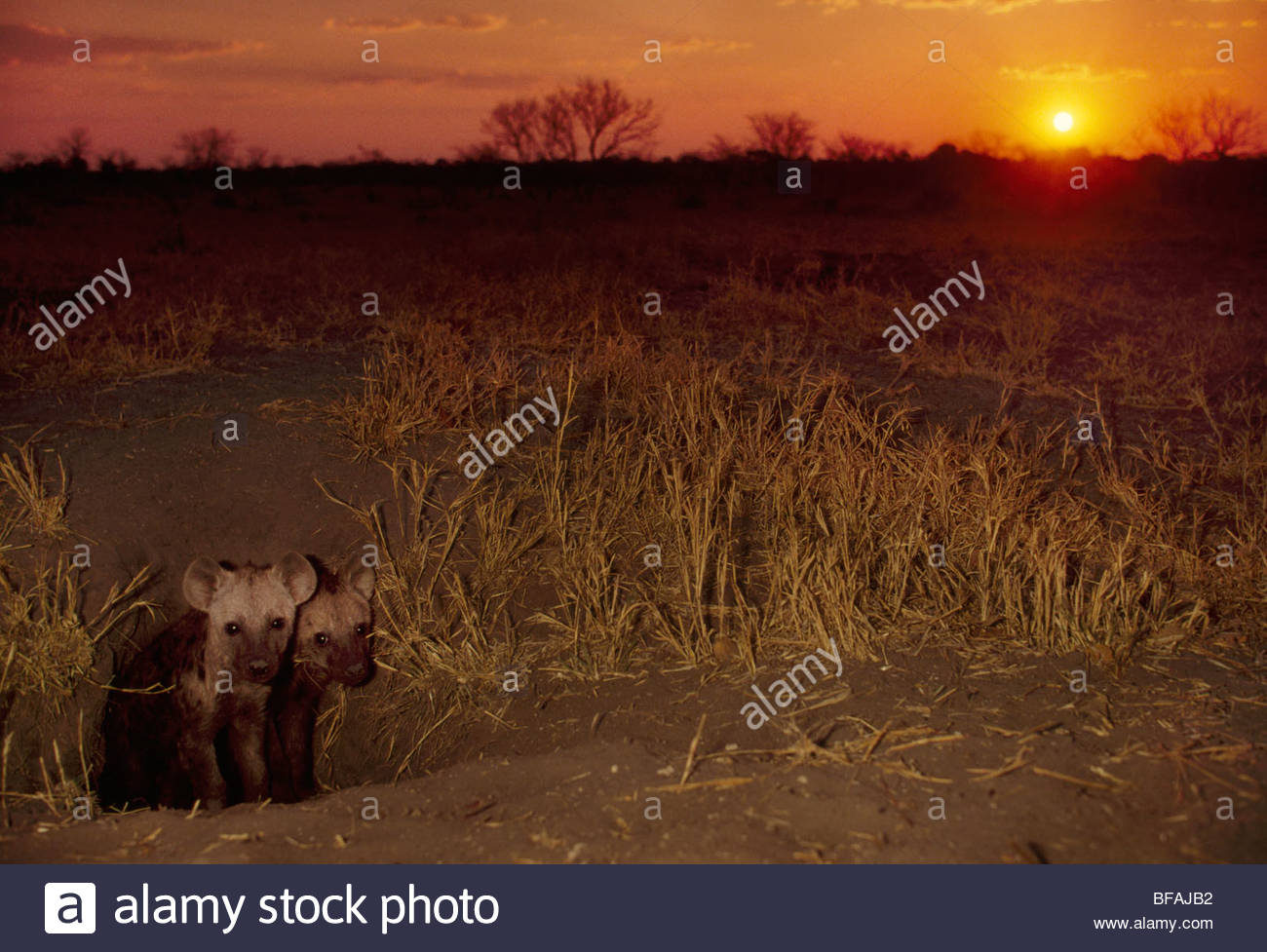 Spotted hyena pups at burrow, Crocuta crocuta, Okavango Delta, Botswana - Stock Image