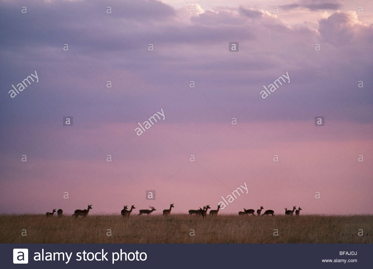 Impala herd, Aepyceros melampus, Masai Mara Reserve, Kenya - Stock Image