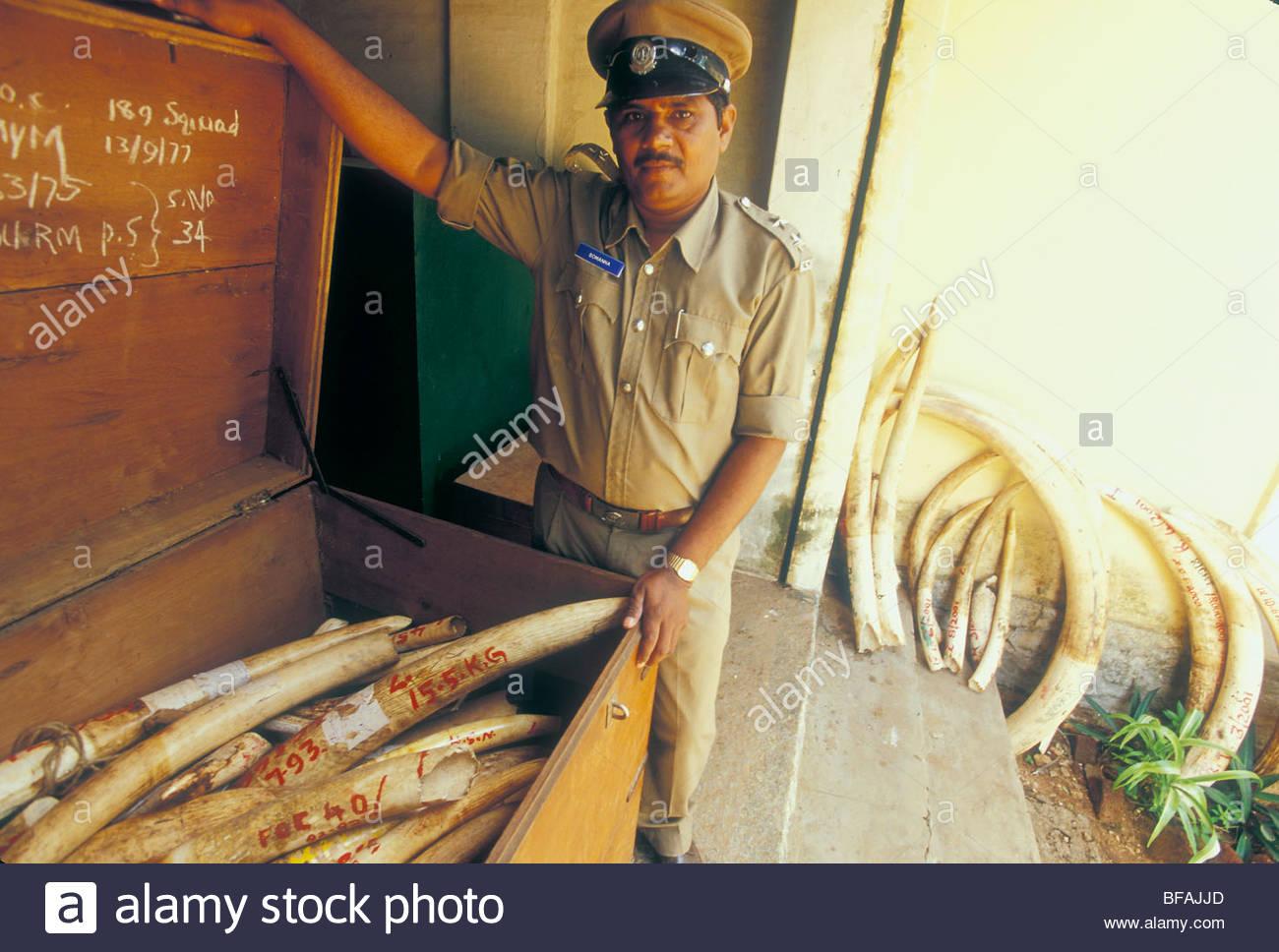 Asiatic elephant ivory in government storage, Bangalore, Karnataka, India - Stock Image