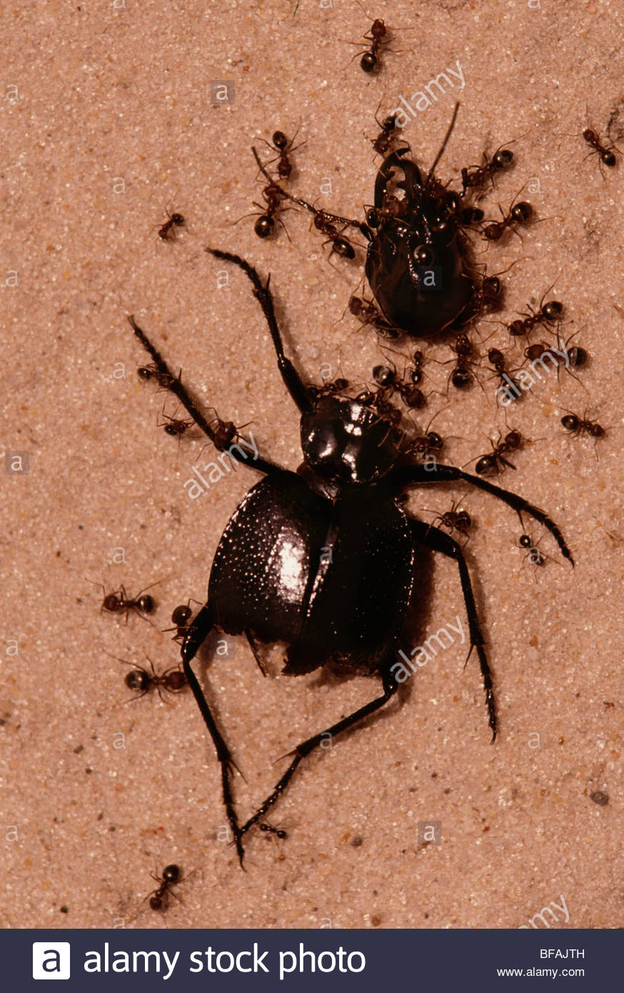 Ants gathering around dead beetle, Botswana - Stock Image