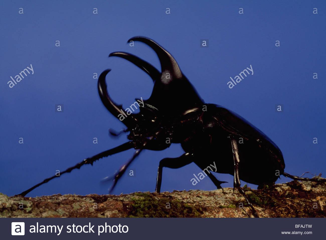 Rhinoceros beetle male, Dynastinae subfamily, Borneo - Stock Image