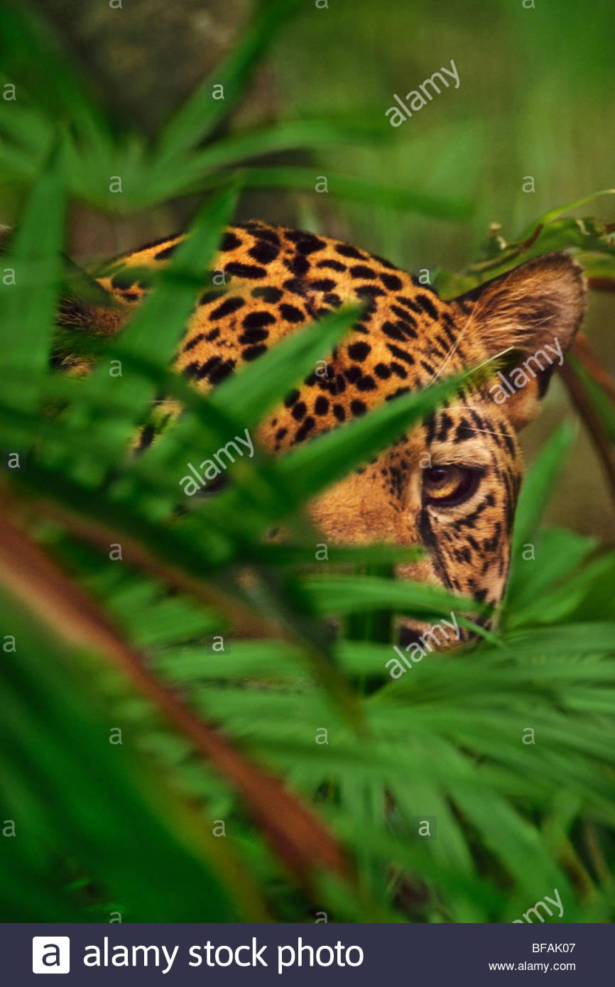 Jaguar behind foliage, Panthera onca, Belize - Stock Image