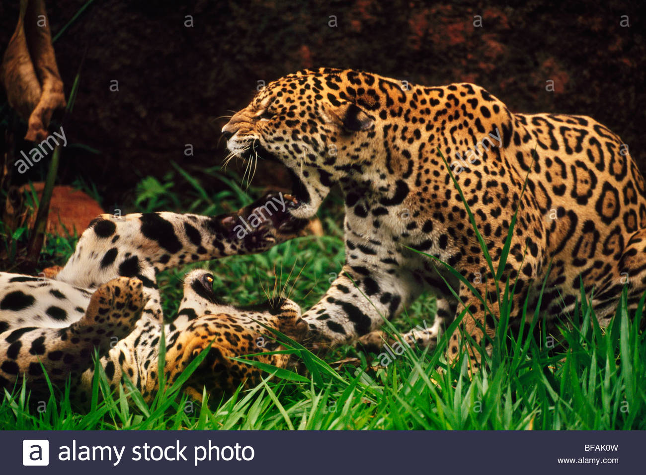 Jaguars fighting, Panthera onca, Brazil - Stock Image