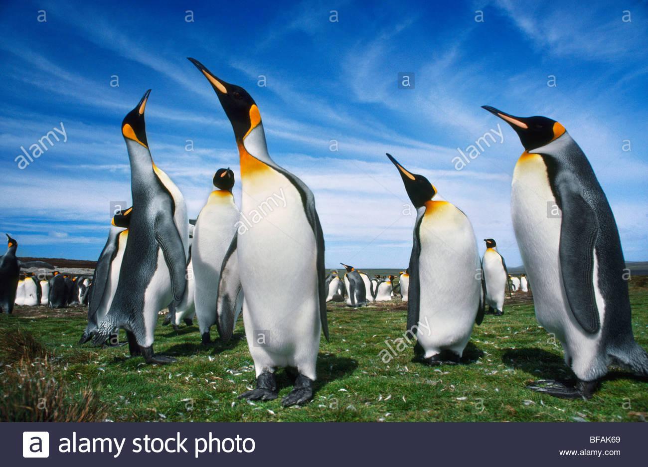 King penguins displaying, Aptenodytes patagonicus, Falkland Islands - Stock Image