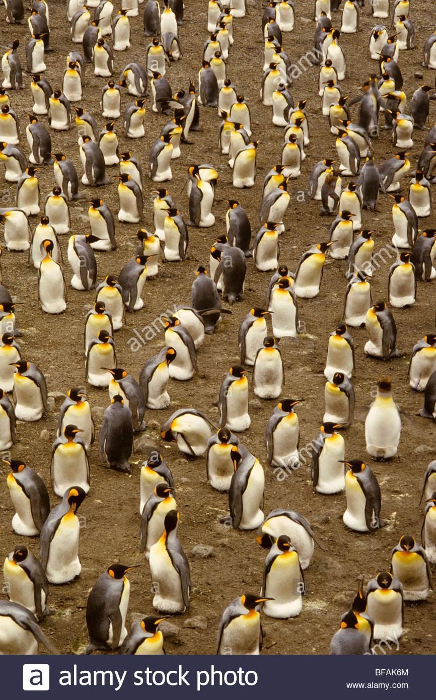 King penguin colony, Aptenodytes patagonicus, South Georgia Island - Stock Image