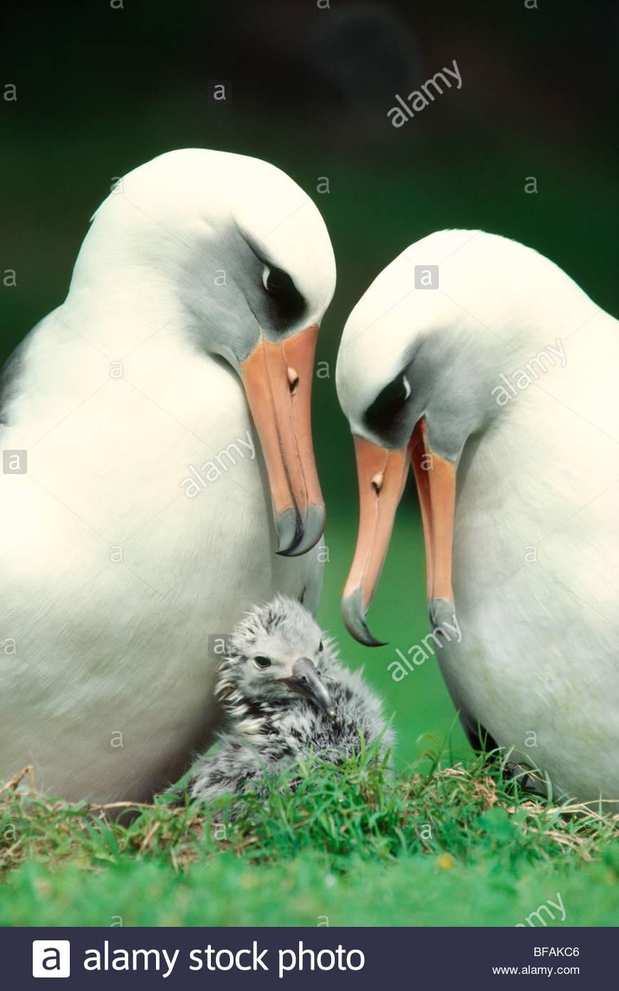 Laysan albatross pair with chick, Phoebastria immutabilis, Hawaiian Leeward Islands - Stock Image