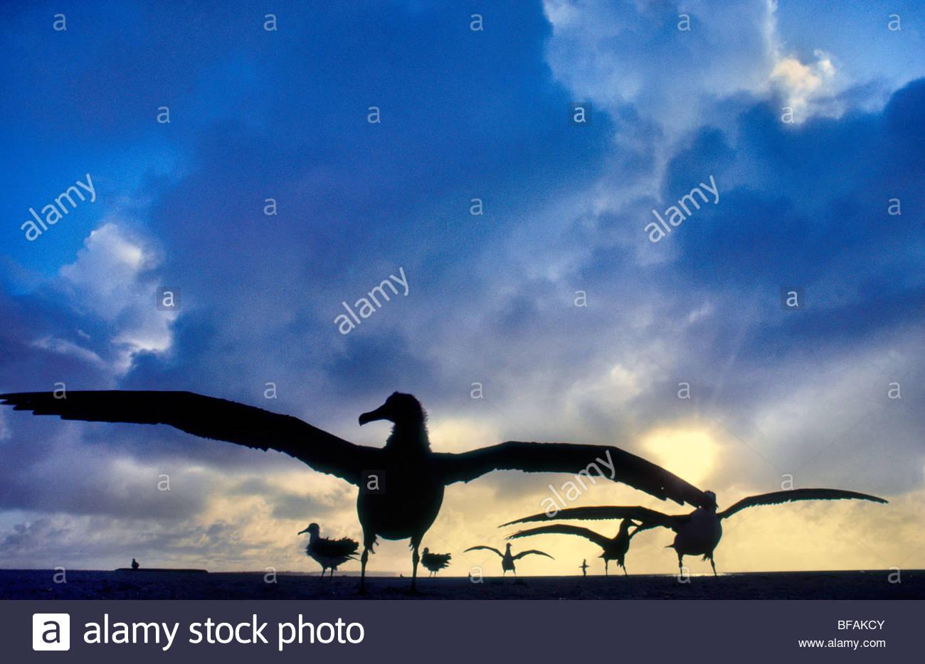 Laysan albatross fledglings spreading wings, Phoebastria immutabilis, Hawaiian Leeward Islands - Stock Image