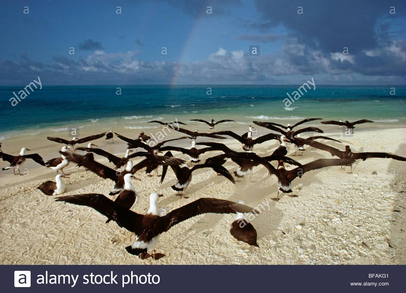 Laysan albatross juveniles spreading wings, Phoebastria immutabilis, Hawaiian Leeward Islands - Stock Image