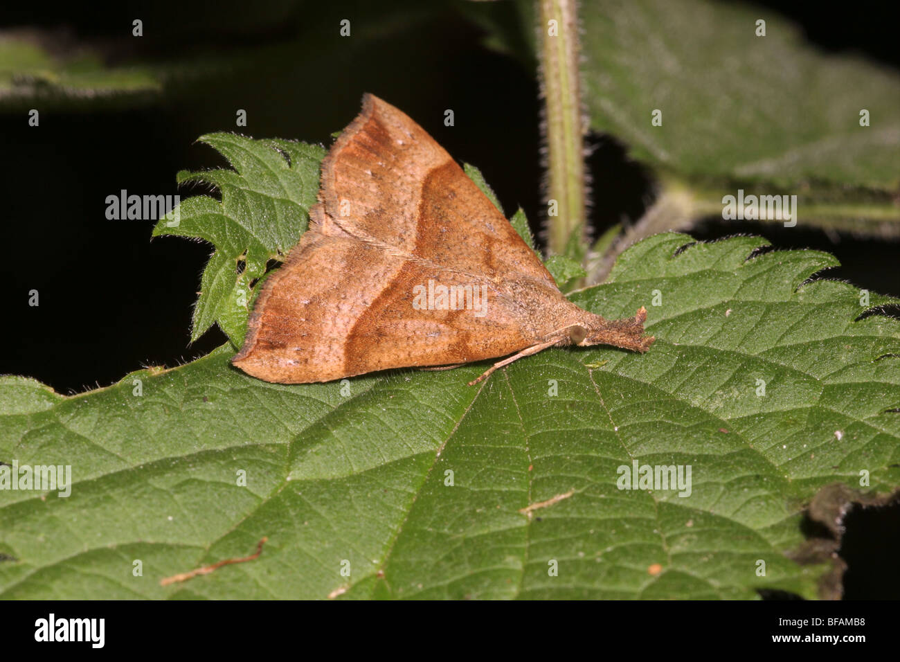 Snout moth (Hypena proboscidalis : Noctuidae) resting in full view and resemblinbg a fallen dead leaf (unposed shot), - Stock Image