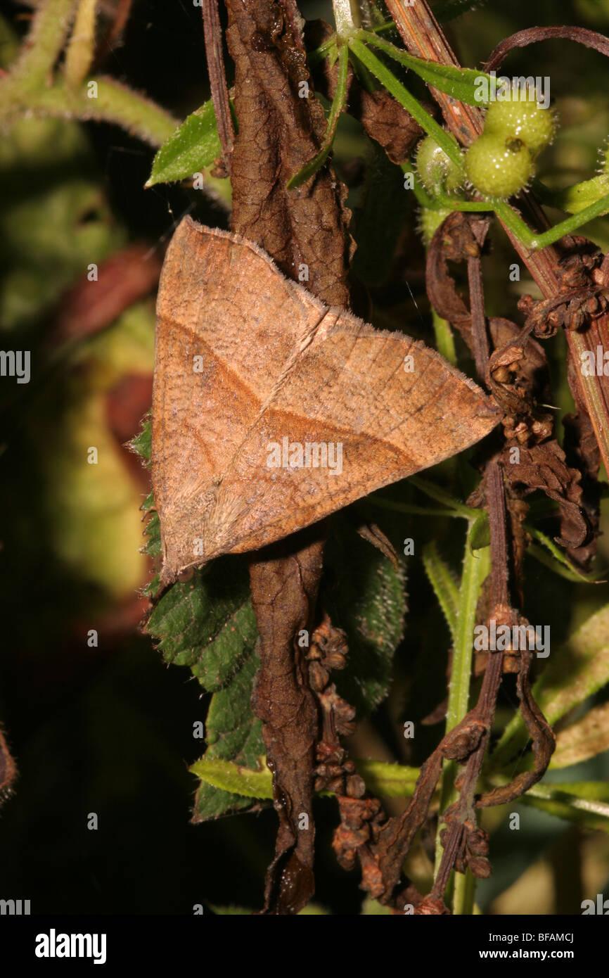 Snout moth (Hypena proboscidalis : Noctuidae) sitting resembling a dead fallen leaf (unposed shot), UK. - Stock Image