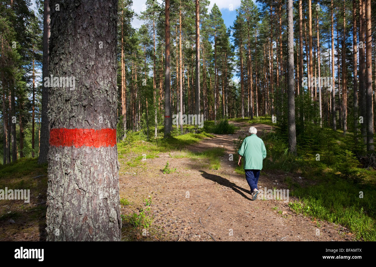 Elderly woman hiking in the pine ( pinus sylvestris ) forest growing on a glacial esker , Finland - Stock Image