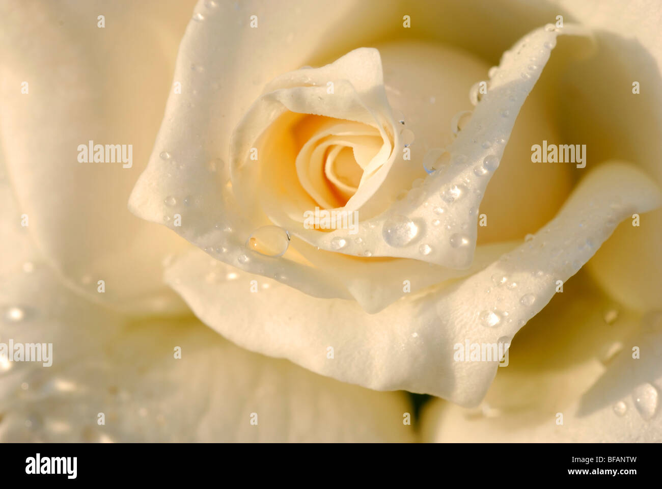 Close up of a beautiful and perfect white rose - Stock Image