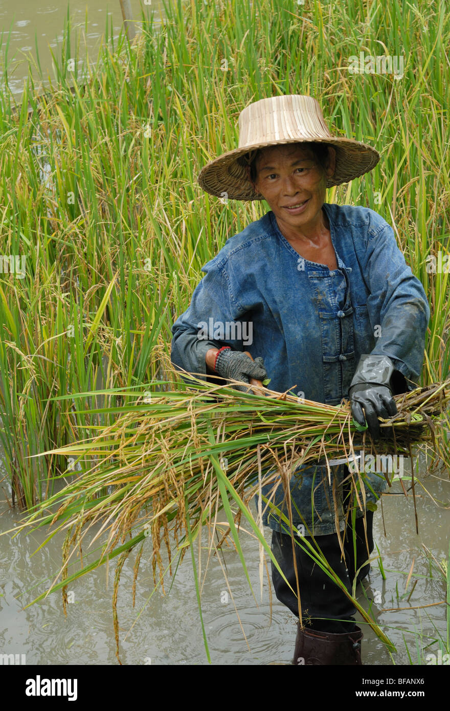 Chiang Mai rice harvesting rice fields Paddy fields Thailand Asia female farmer - Stock Image