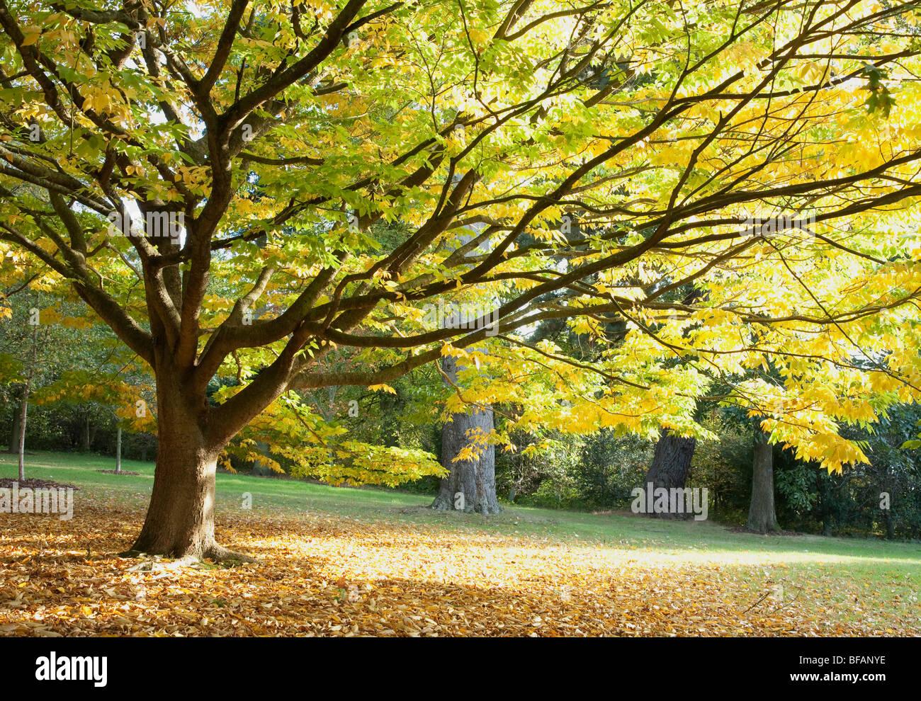 Japanese Zelkova Tree (Zelkova Serrata) - Stock Image