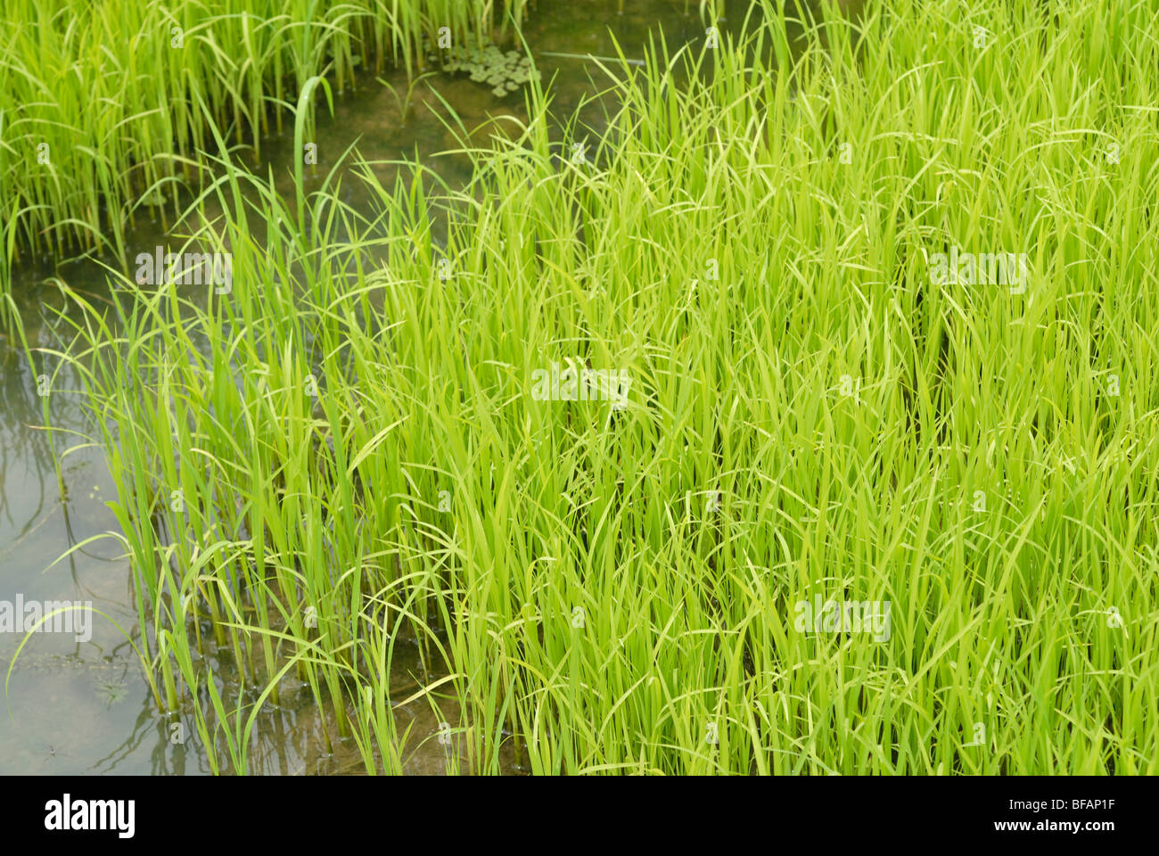 Rice field paddy field flooded arable land for growing rice. Green Growing rice - Stock Image