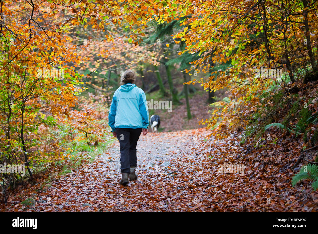 A woman walking through a Beech woodland near Tarn Howes in the Lake District, UK. - Stock Image