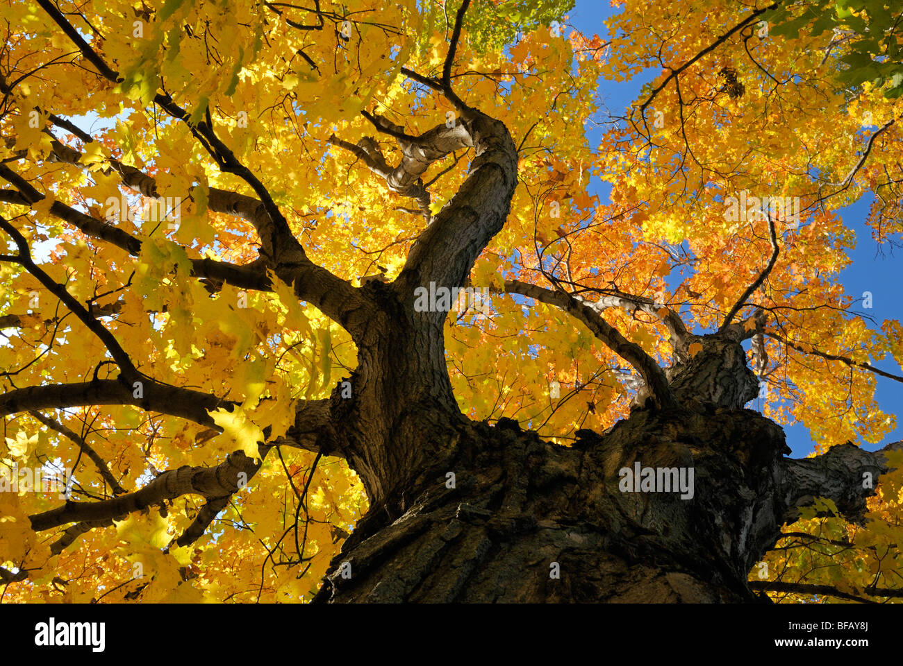 Abstract view of old maple tree in fall colors near Sackets harbor, New York. - Stock Image