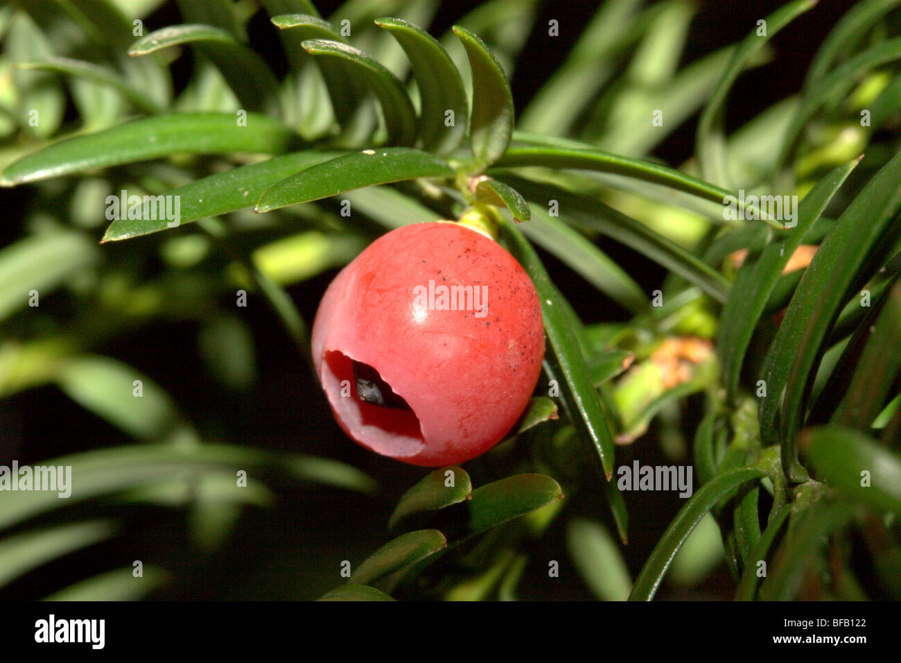 European Yew (Taxus baccata) - Stock Image