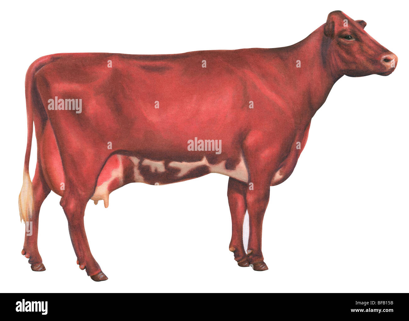 Milking Shorthorn cow - Stock Image