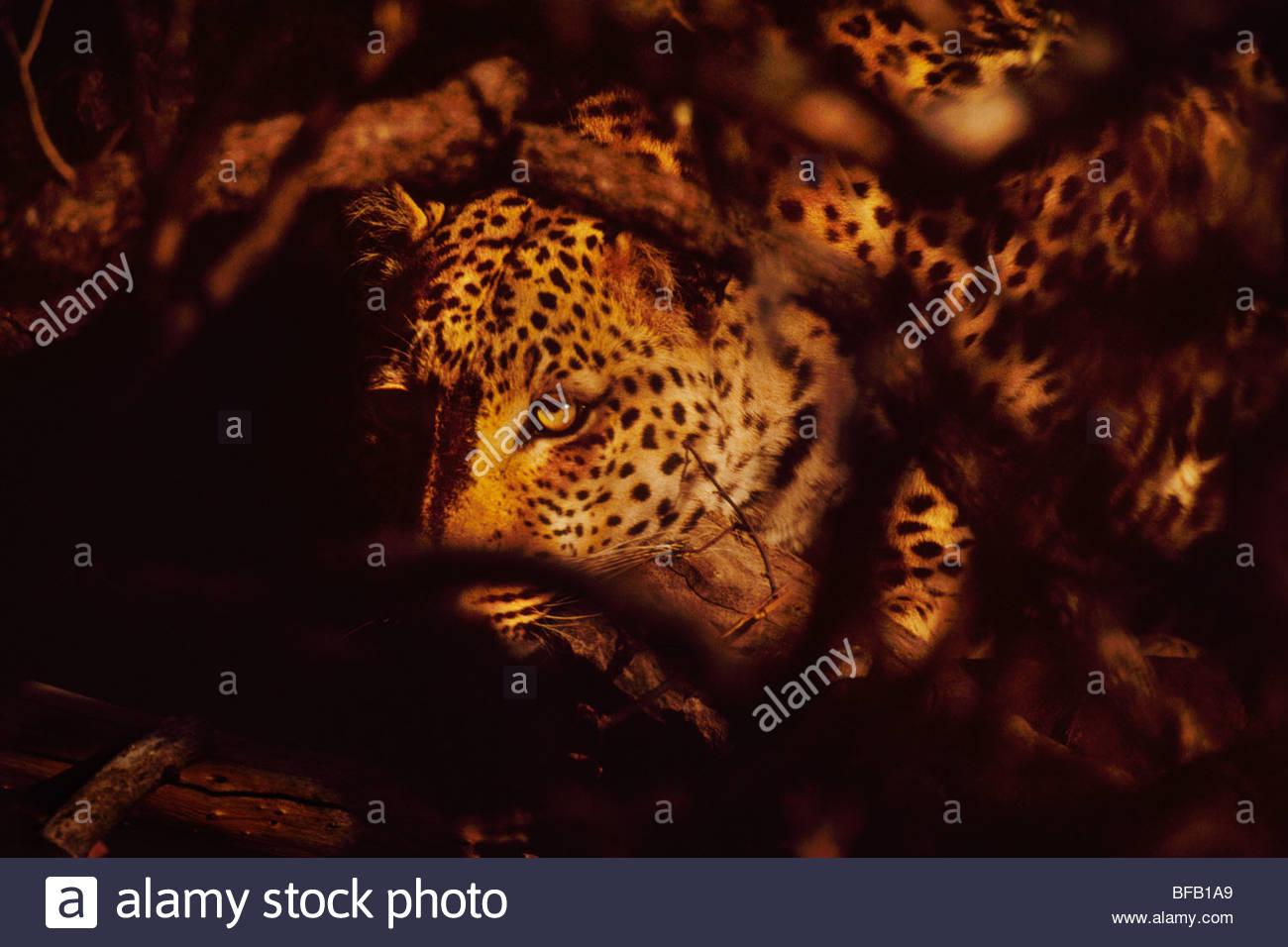 Leopard in dense bush, Panthera pardus, Namibia - Stock Image