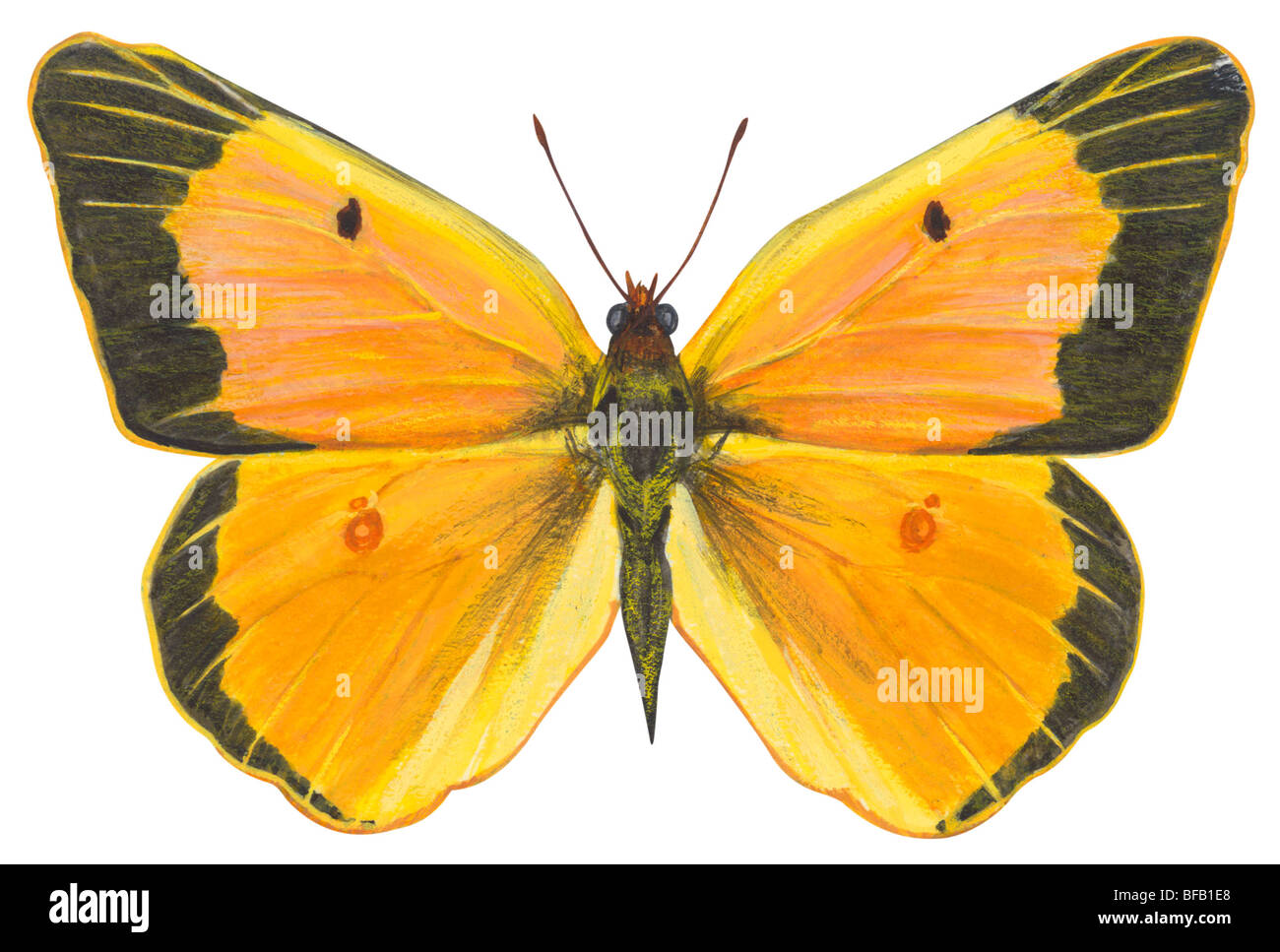 Clouded sulfur butterfly - Stock Image