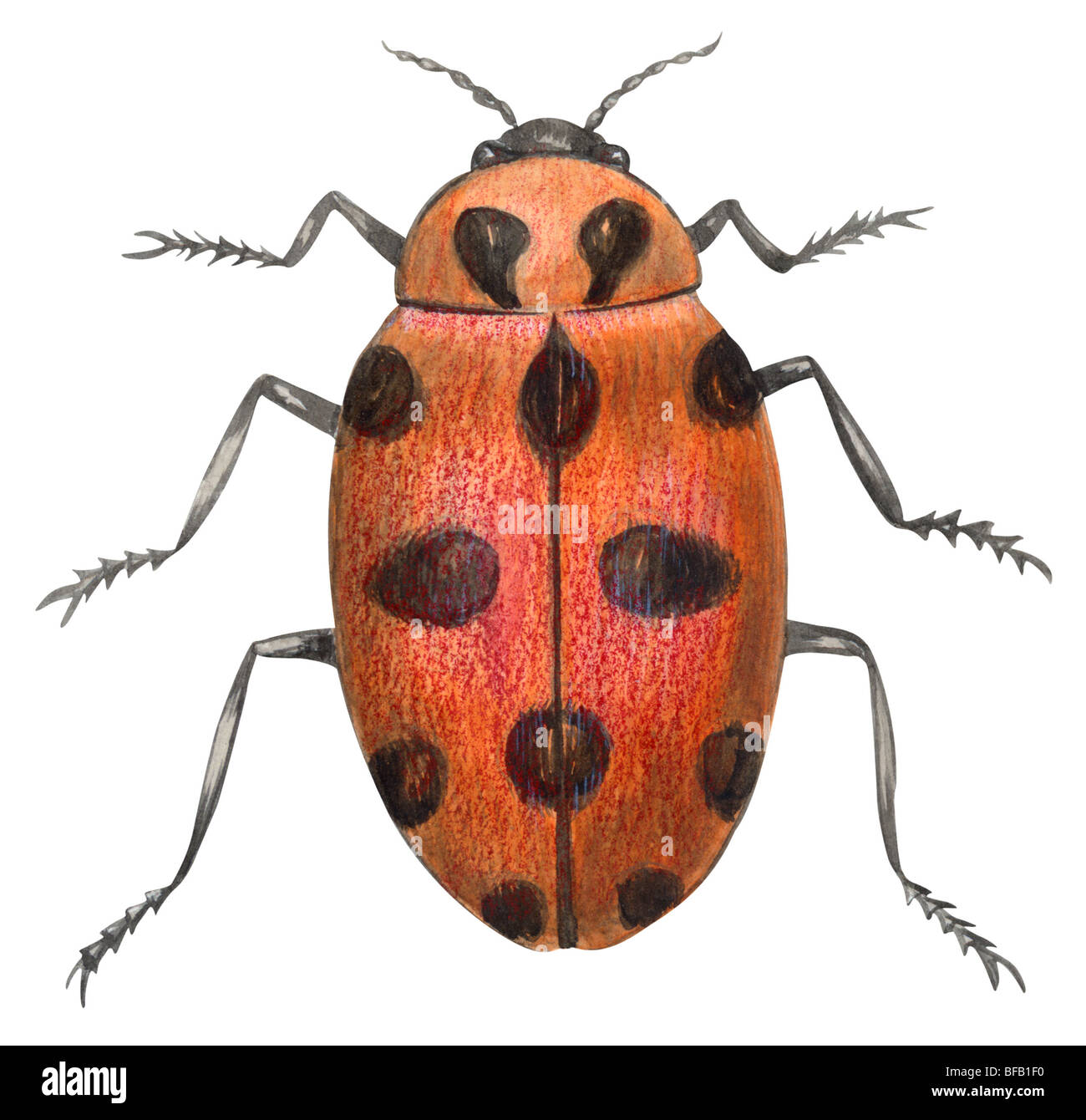 Twelve-spotted ladybird - Stock Image