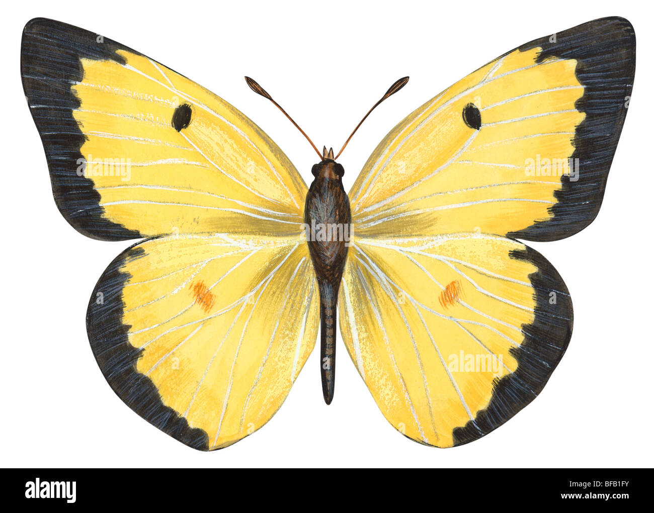 Common sulphur butterfly - Stock Image