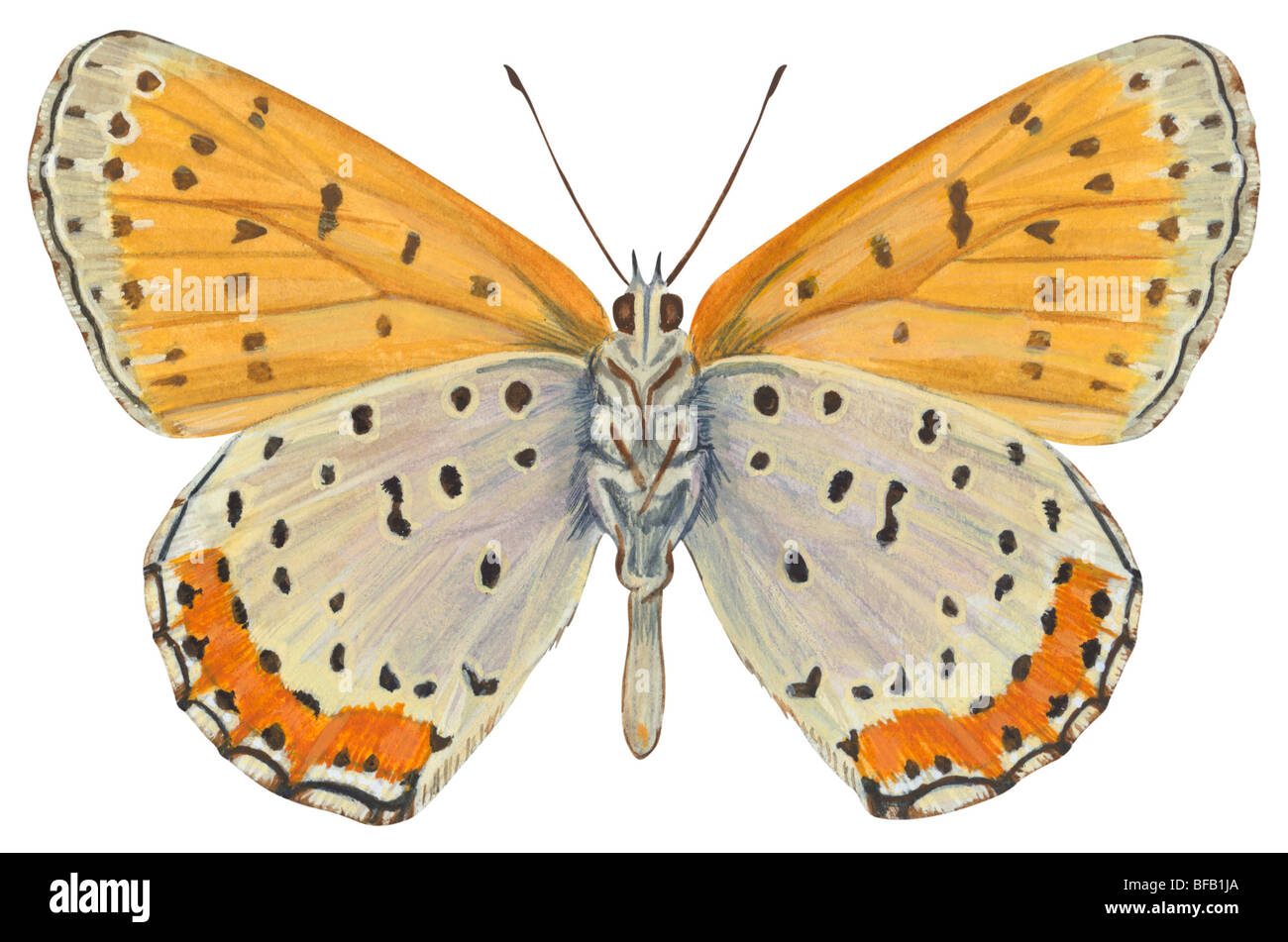 Bronze copper butterfly - Stock Image