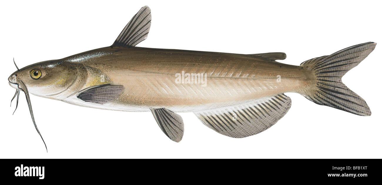 Catfish Deutsch
