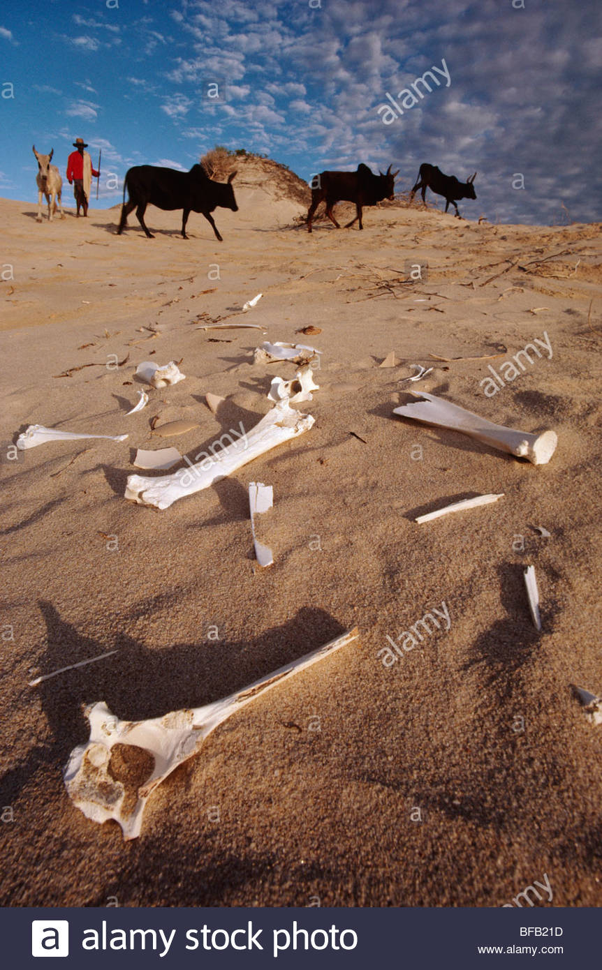 Bleached cattle bones in sand dunes near Cap St Marie, Southern Madagascar - Stock Image