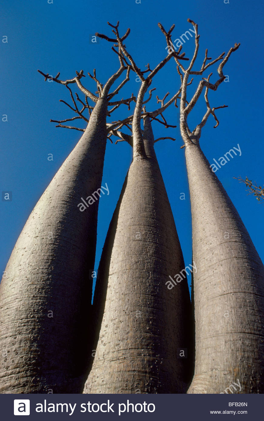 Bottle trees, Pachypodium sp., Southern Madagascar - Stock Image