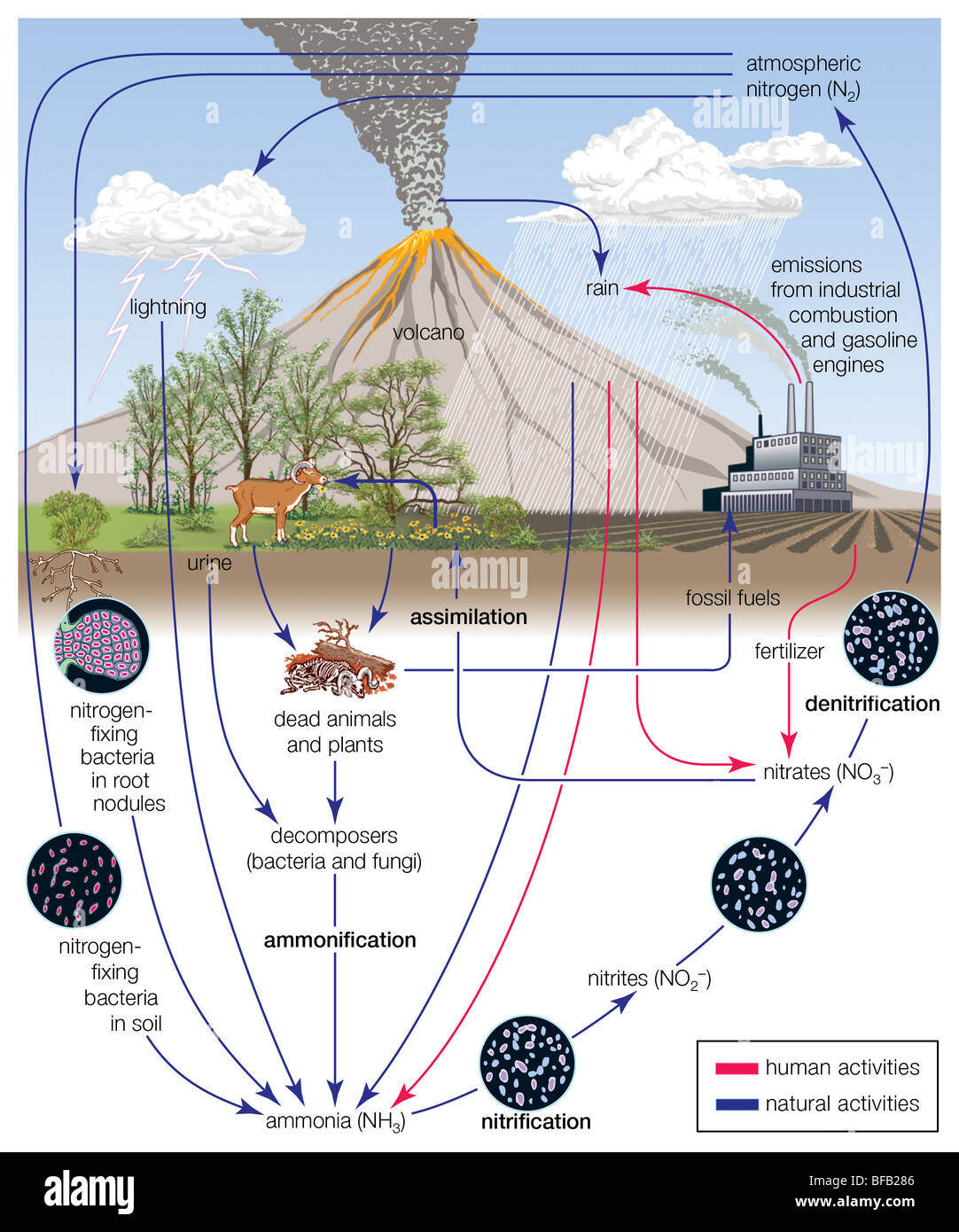 nitrogen cycle stock photos & nitrogen cycle stock images - alamy