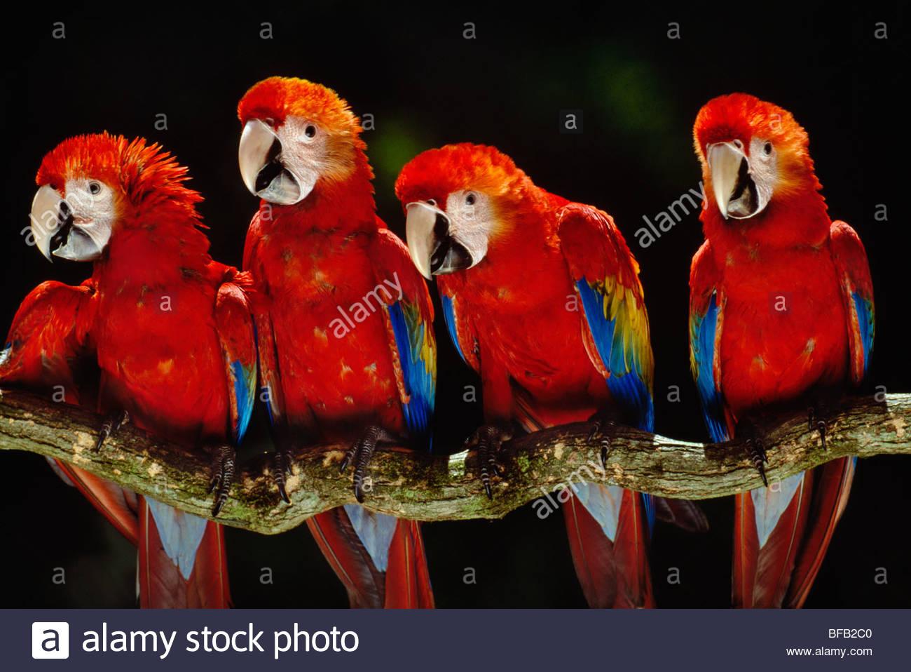 Red-and-green macaws, Ara chloroptera, Manu National Park, Peru - Stock Image