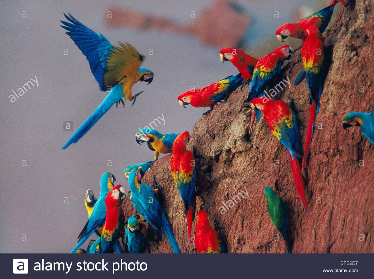 Macaws at clay lick, Tambopata National Reserve, Peru - Stock Image