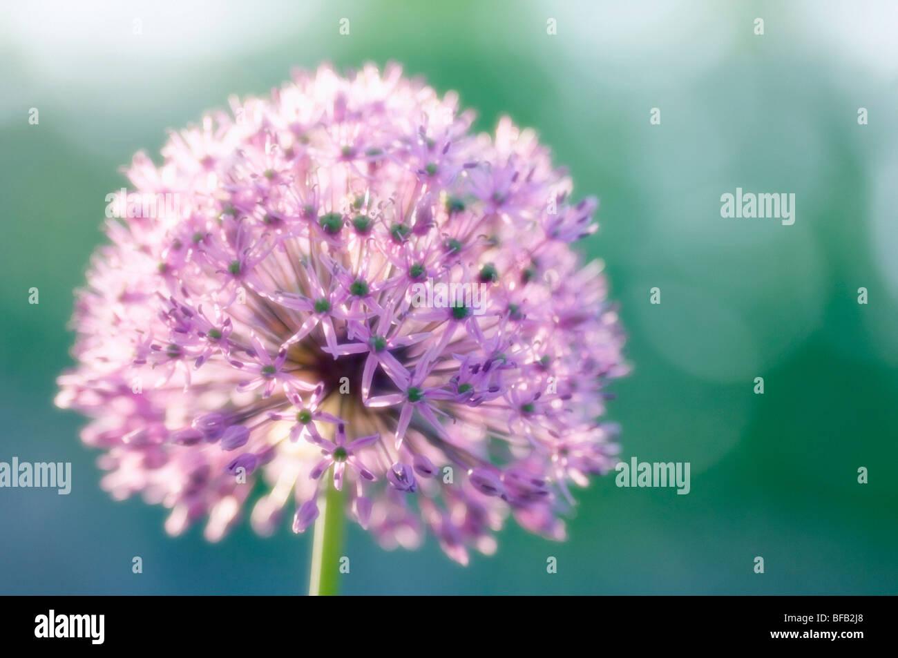 Giant allium, Allium giganteum, Purple spherical flower of ornamental onion. Stock Photo
