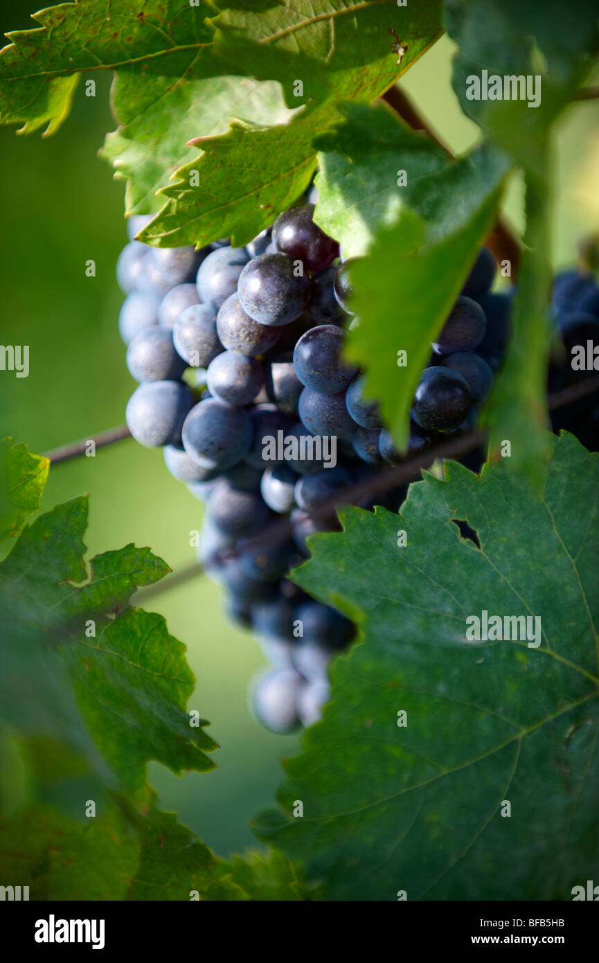 Grapes on the vines of Villany ( Villany ) vineyards, Hungary. - Stock Image