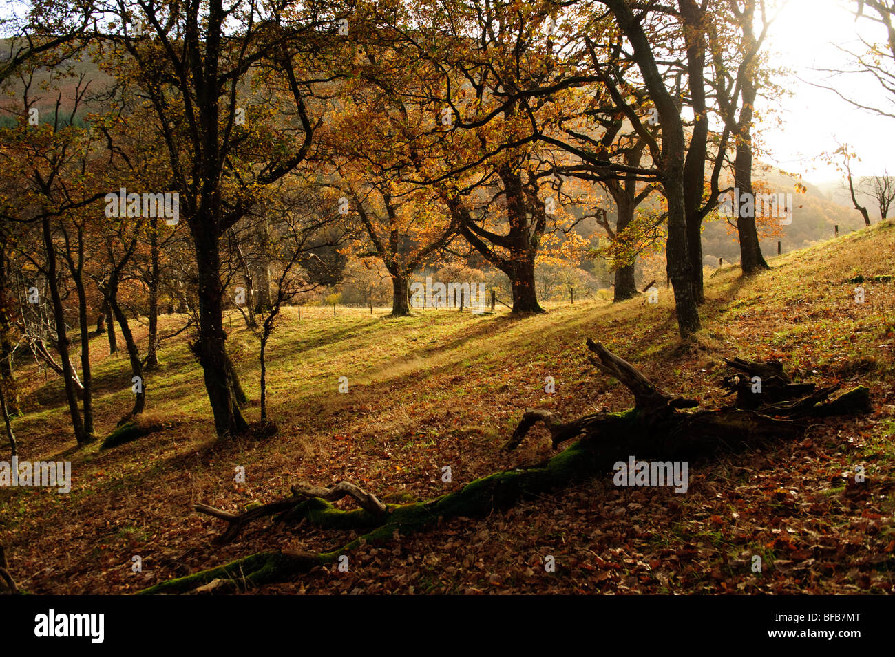Old oak woodland in the Wye river valley, autumn afternoon, Wales UK - Stock Image