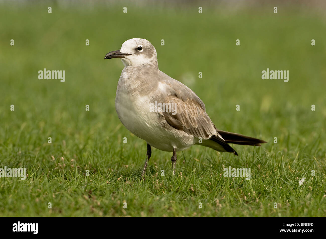 Laughing Gull Larus atricilla 1st winter vagrant from America - Stock Image