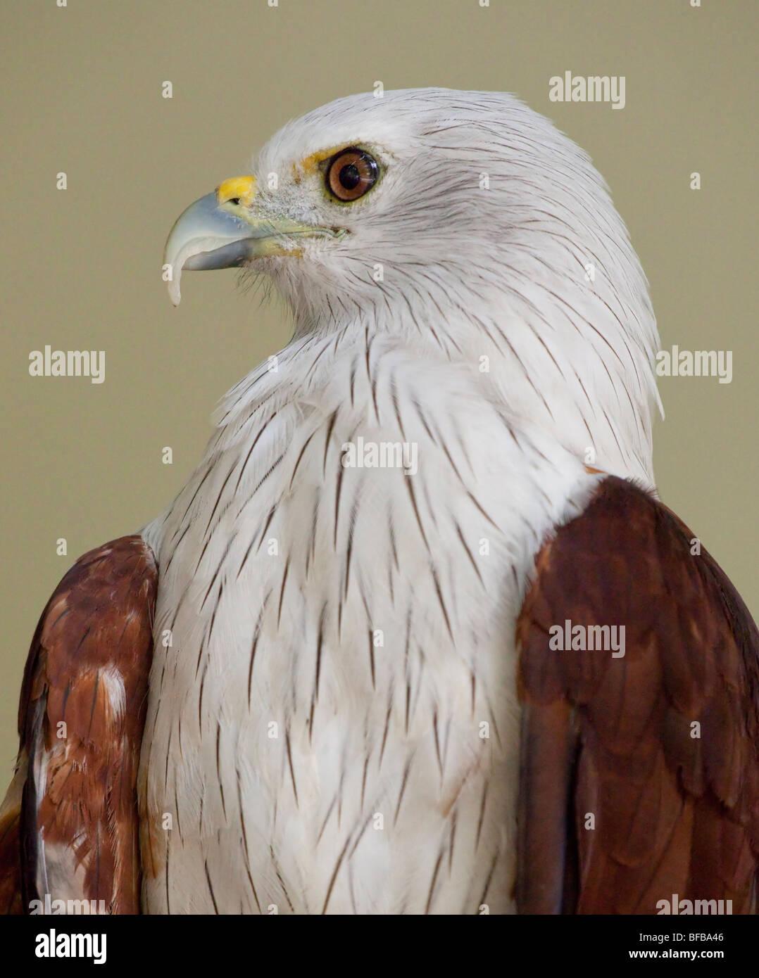 White-bellied Fish Eagle, Haliaeetus leucogaster, White-bellied Sea Eagle, Lang Laut/Siput (Malay) Stock Photo