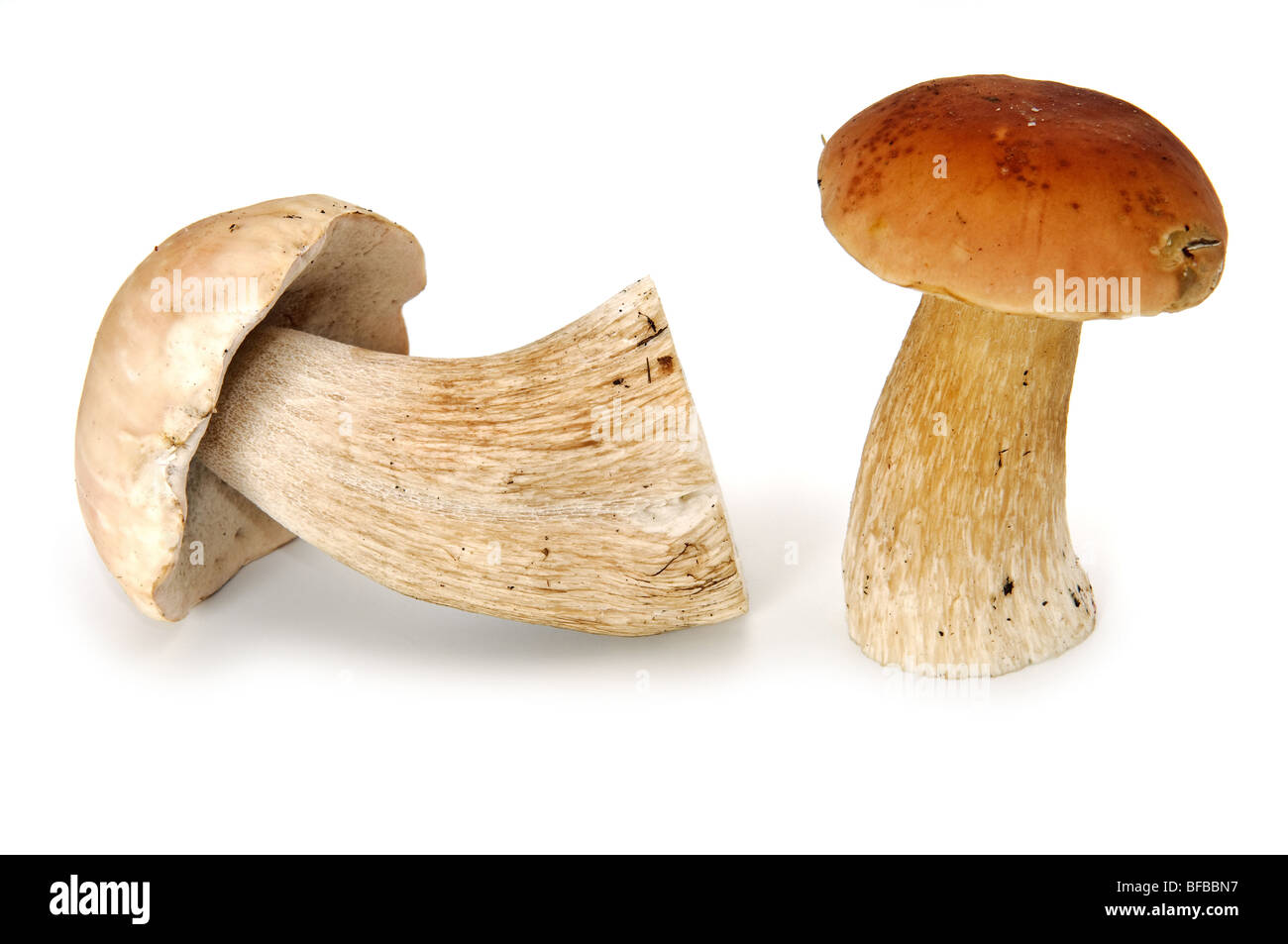 Two eatable mushrooms isolated on white - Stock Image
