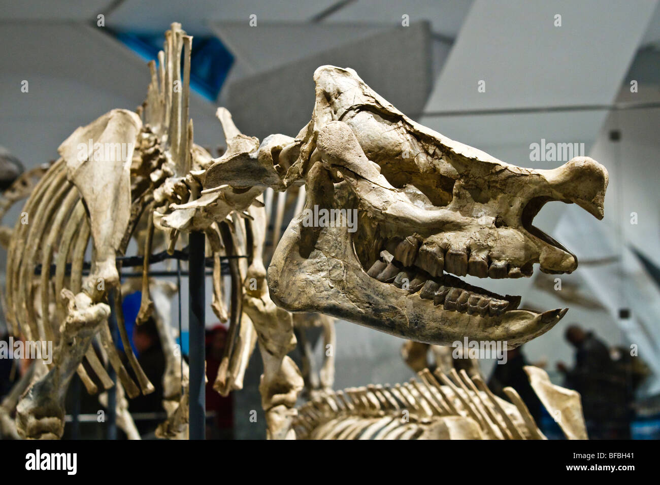 Extinct head and rhino skeleton, Scientific Name: Menoceras arikarense, Early Miocene Epoch, 20 million years old - Stock Image