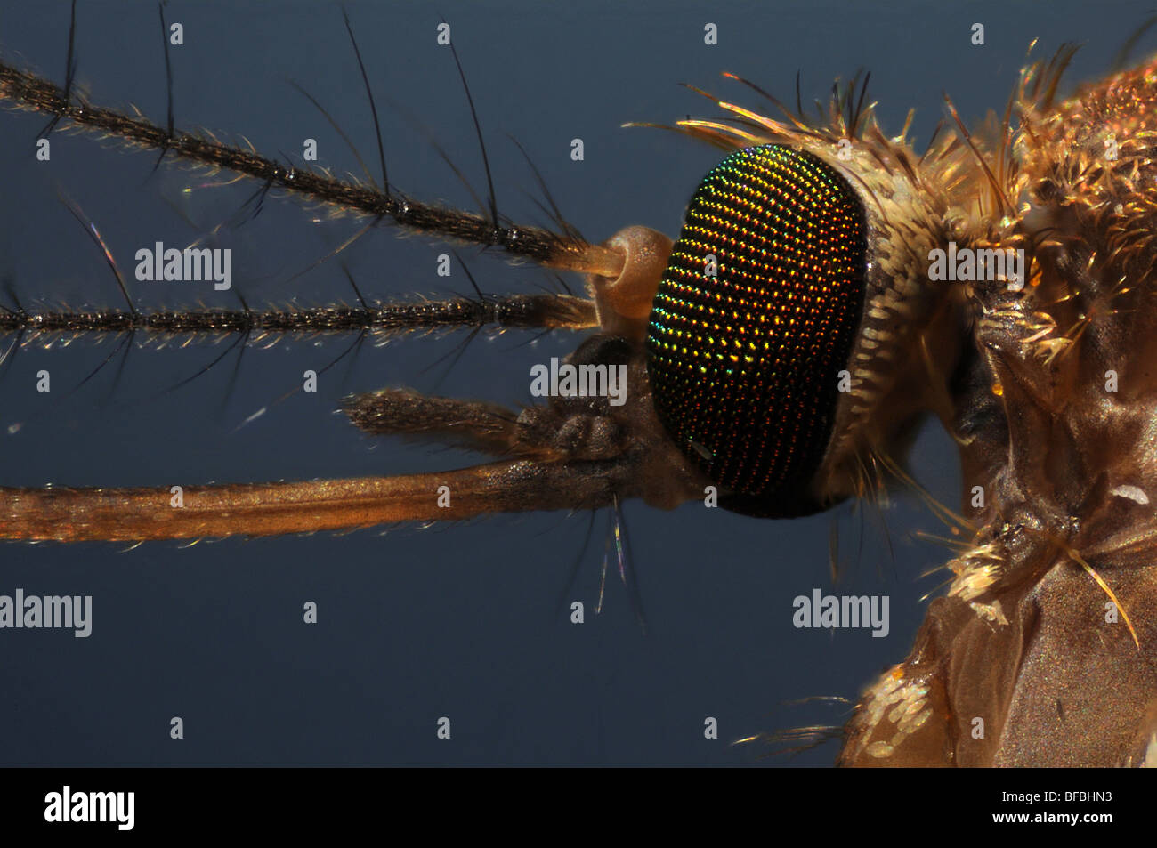 The head of a mosquito, culex pipiens taken through a microscope Stock Photo
