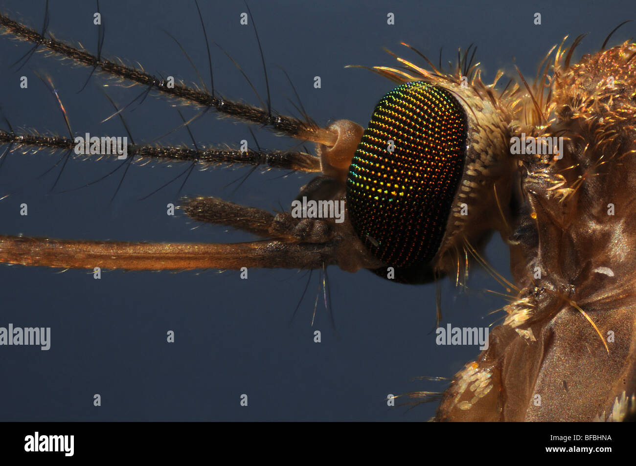 The head of a mosquito, culex pipiens taken through a microscope - Stock Image